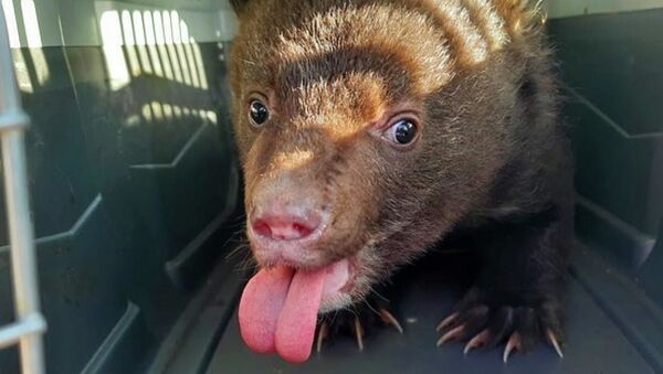 Nell'Estremo Oriente russo trovato e salvato cucciolo d'orso orfano - Sputnik Italia