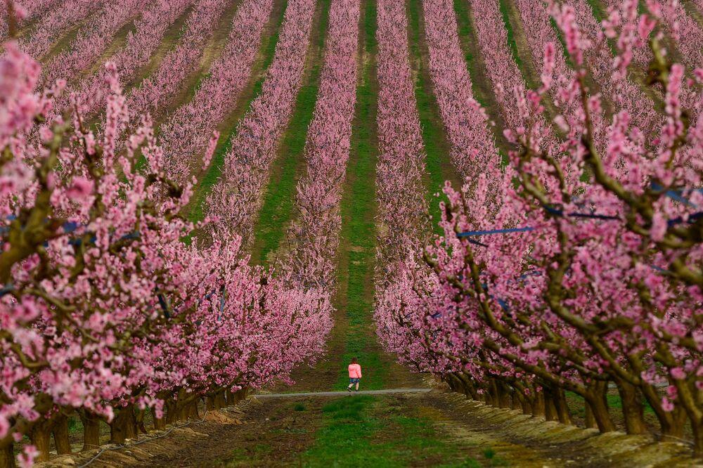 Un bambino cammina tra alberi in fiore ad Aitona, Spagna
