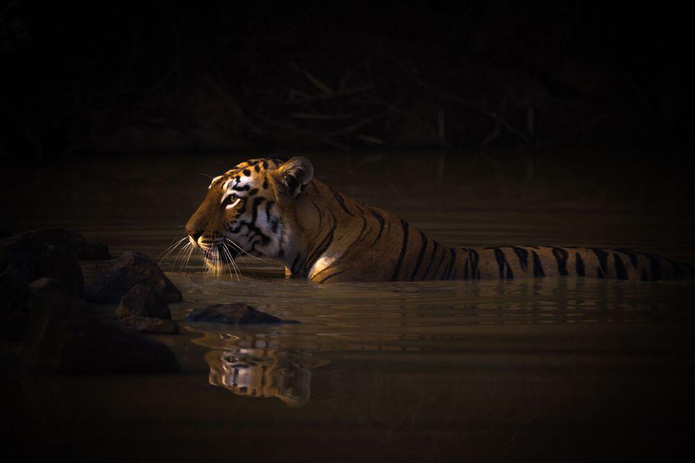 La foto Tigre del Bengala si riflette nello specchio d'acqua del fotografo inglese Nick Dale, che ha conquistato il 1 posto nella categoria Ritratti di animali del concorso World Nature Photography Awards 2020