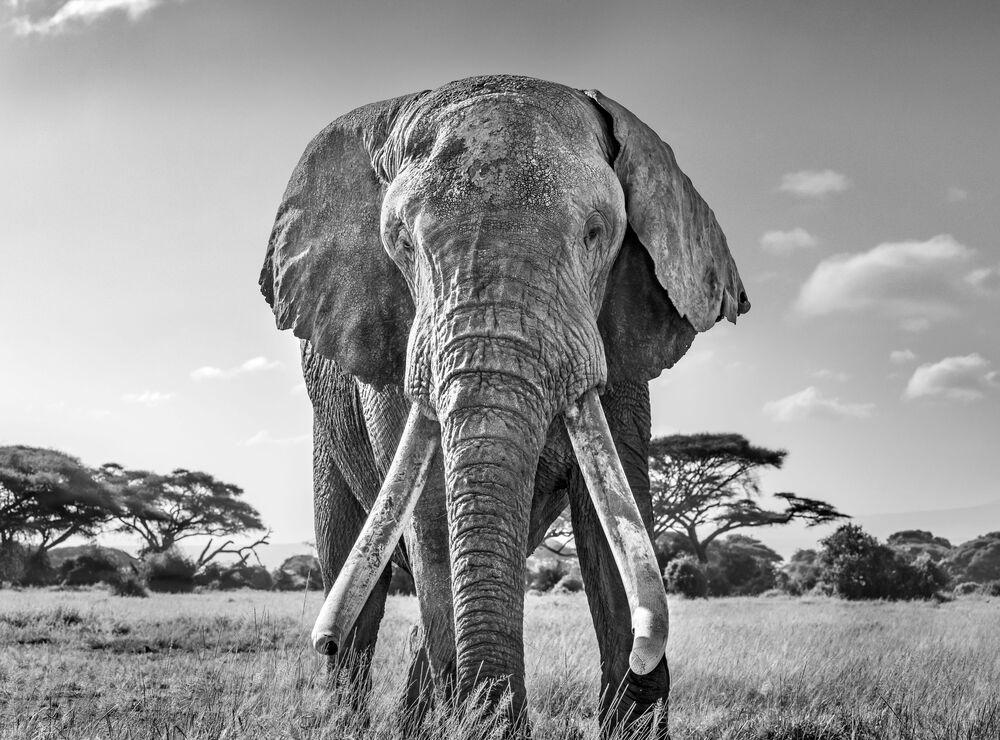 La foto Ulisse, uno degli ultimi grandi elefanti tusker rimasti del fotgrafo britannico Harry Skeggs, che ha conquistato il 1 posto nella categoria Bianco e nero del concorso World Nature Photography Awards 2020