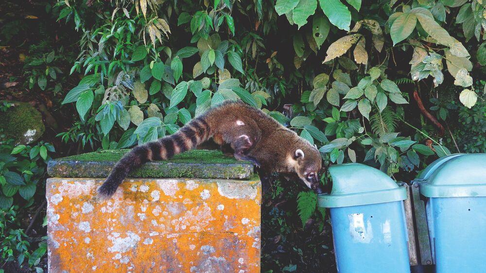 La foto Coati ossessionato della fotografa spagnola Adriana Rivas, che ha conquistato il terzo posto nella categoria Fauna selvatica urbana del concorso World Nature Photography Awards 2020