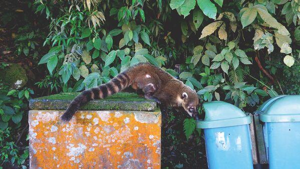 La foto Coati ossessionato della fotografa spagnola Adriana Rivas, che ha conquistato il terzo posto nella categoria Fauna selvatica urbana del concorso World Nature Photography Awards 2020 - Sputnik Italia