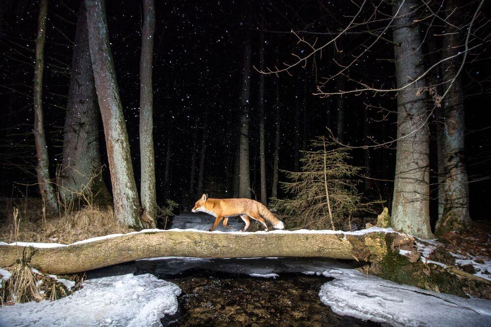 La foto La volpe del fotografo ceco Vladimir Cech, che ha conquistato il 2 posto nella categoria Animali nel loro habitat del concorso World Nature Photography Awards 2020