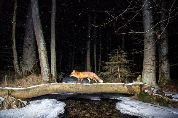 La foto La volpe del fotografo ceco Vladimir Cech, che ha conquistato il 2 posto nella categoria Animali nel loro habitat del concorso World Nature Photography Awards 2020 - Sputnik Italia