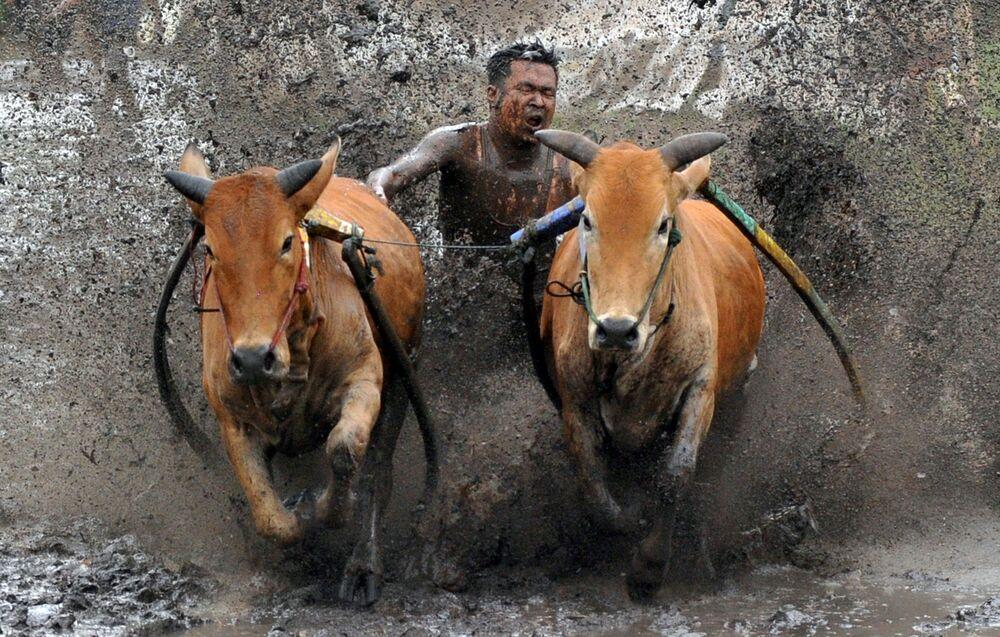 Il pacu jawi è una tradizionale corsa di tori a Tanah Datar, Sumatra occidentale, Indonesia. Nella corsa, un fantino si trova su un aratro di legno legato liberamente a una coppia di tori e li tiene per la coda mentre i tori coprono circa 60-250 metri di pista fangosa in una risaia. La foto scattata il 13 marzo 2021