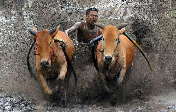 Il pacu jawi è una tradizionale corsa di tori a Tanah Datar, Sumatra occidentale, Indonesia. Nella corsa, un fantino si trova su un aratro di legno legato liberamente a una coppia di tori e li tiene per la coda mentre i tori coprono circa 60-250 metri di pista fangosa in una risaia. La foto scattata il 13 marzo 2021 - Sputnik Italia
