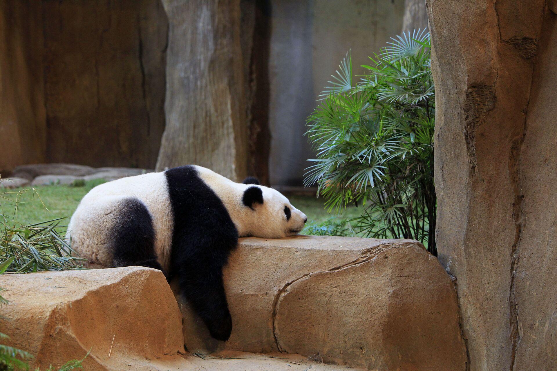 Спящая панда в Национальном зоопарке Куала-Лумпура - Sputnik Italia, 1920, 09.07.2021