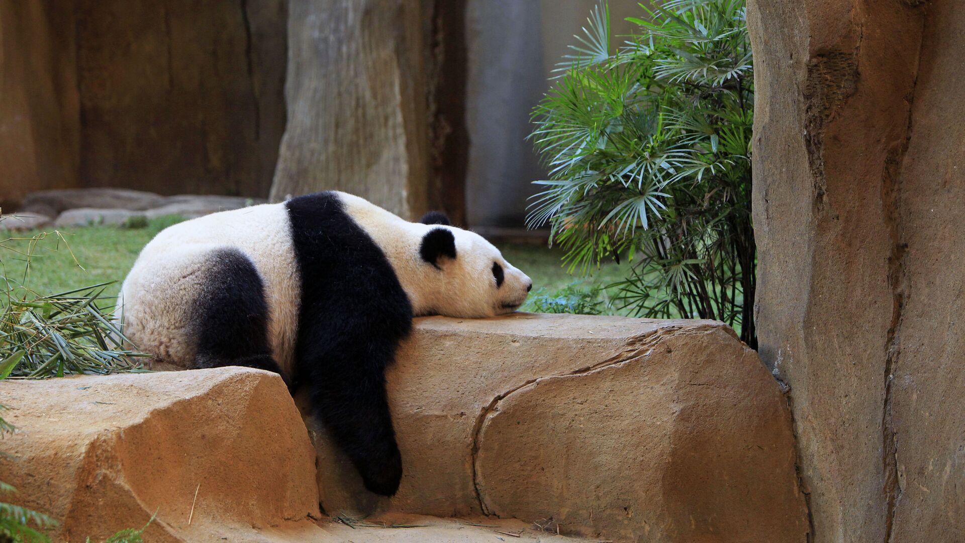 Спящая панда в Национальном зоопарке Куала-Лумпура - Sputnik Italia, 1920, 24.06.2021