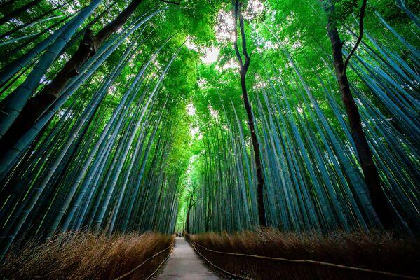 La foresta di bambù di Sagano in Giappone - Sputnik Italia