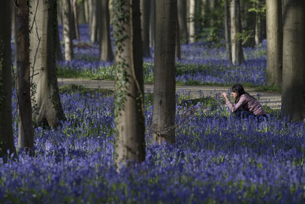La meravigliosa foresta blu di Hallerbos, in Belgio - Sputnik Italia