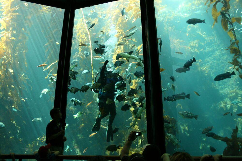 Foresta di Kelp (Macrocystis pyrifera), California, Stati Uniti d'America