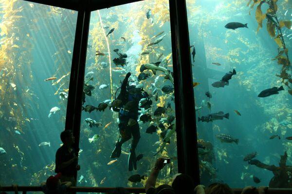 Foresta di Kelp (Macrocystis pyrifera), California, Stati Uniti d'America - Sputnik Italia