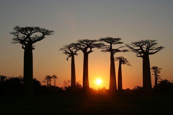 Baobab Avenue o Mall è un gruppo di baobab allineati su una strada sterrata tra Morondava e Belon'i Tsiribihina nella regione di Menabe, nella parte occidentale del Madagascar - Sputnik Italia
