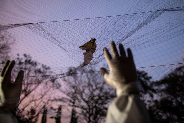 Ecologo cerca di catturare un pipistrello intrappolato in una rete, Filippine - Sputnik Italia