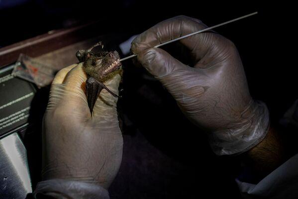 L'ecologo effettua un tampone dalla bocca di un pipistrello - Sputnik Italia