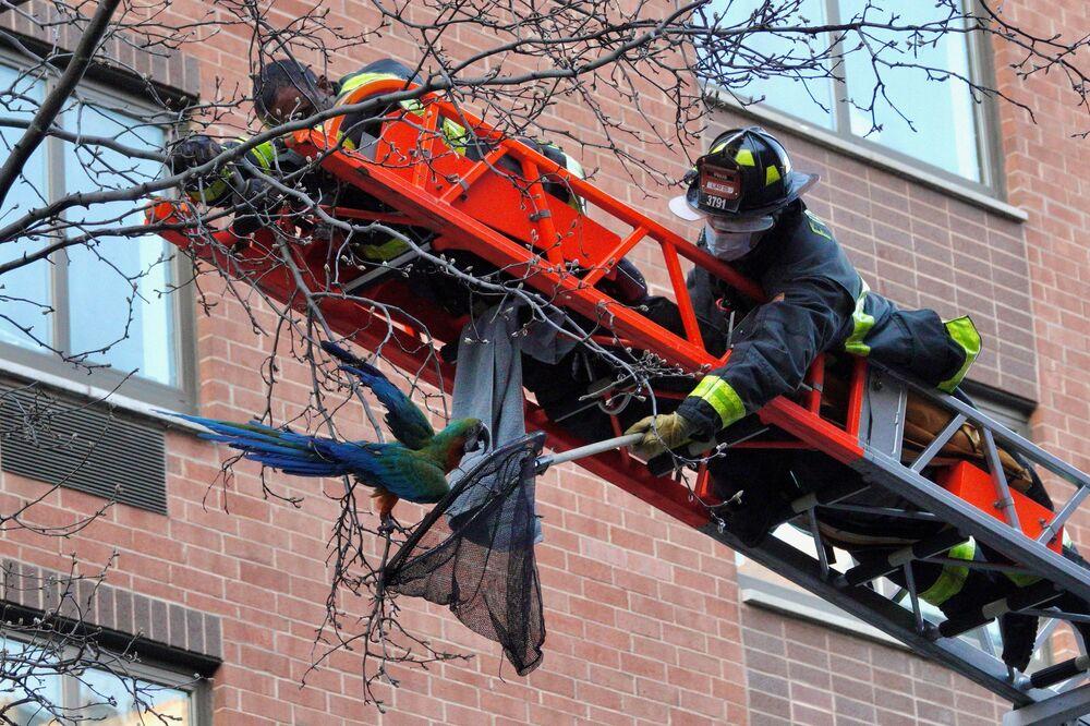 I vigili del fuoco di New York City salvano Dylan, un Ara Catalina, da un albero nel distretto di Manhattan a New York che è fuggito mentre veniva portato dal veterinario, USA, il 22 marzo 2021