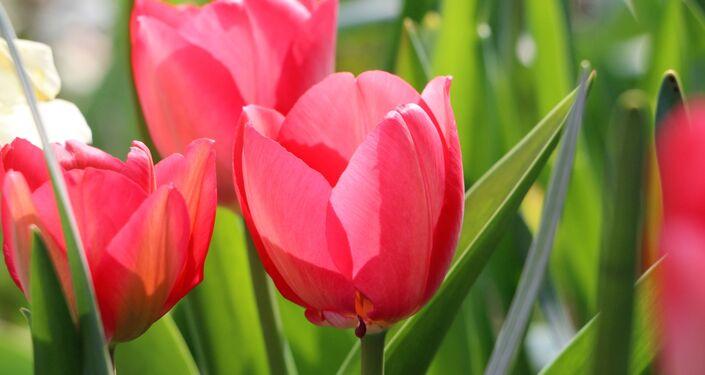 I tulipani in un parco di Milano