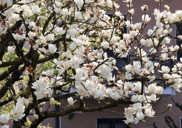 I primi fiori degli alberi in un parco di Milano