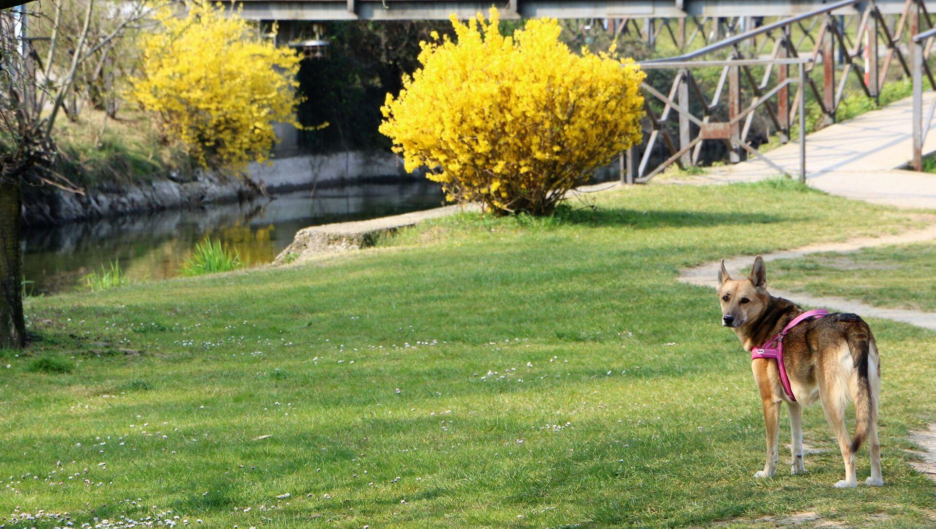 Un cane in un parco di Milano - Sputnik Italia, 1920, 11.04.2021