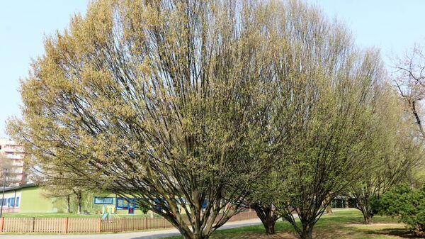 Un albero in un parco di Milano - Sputnik Italia