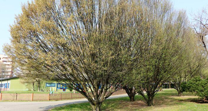 Un albero in un parco di Milano