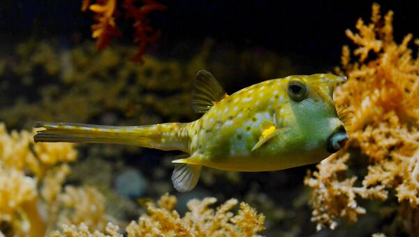 Pesce palla velenoso - Sputnik Italia