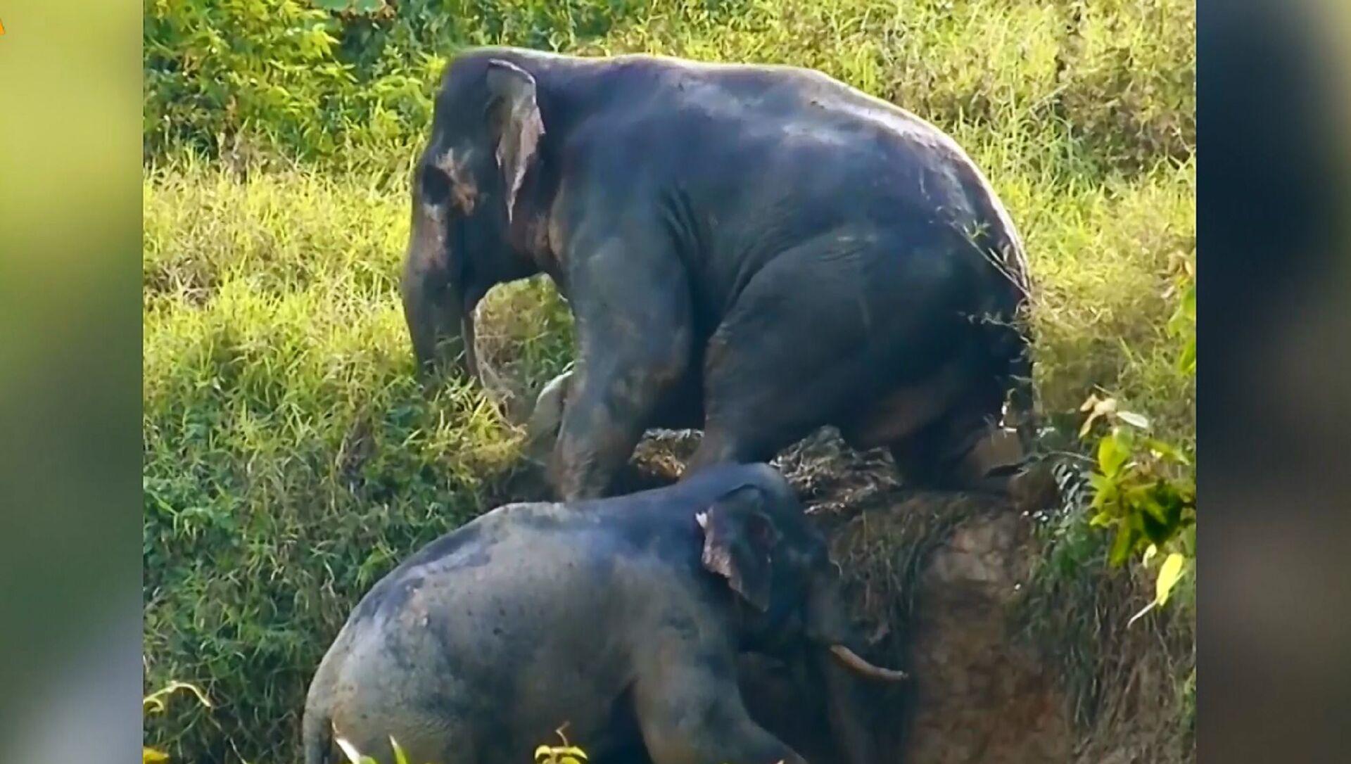 Due elefanti si aiutano a vicenda nell'uscire da un fosso - Sputnik Italia, 1920, 29.03.2021
