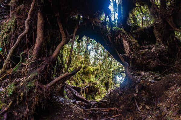 """Gli appassionati di escursionismo e di attività all'aria aperta, a Cameron Highlands in Malesia troveranno una varietà di sentieri affascinanti attraverso colline e foreste; in particolare quello che si inerpica nella """"Mossy Forest"""", una foresta coperta dal muschio con un paesaggio dall'aspetto incantato e fiabesco - Sputnik Italia"""