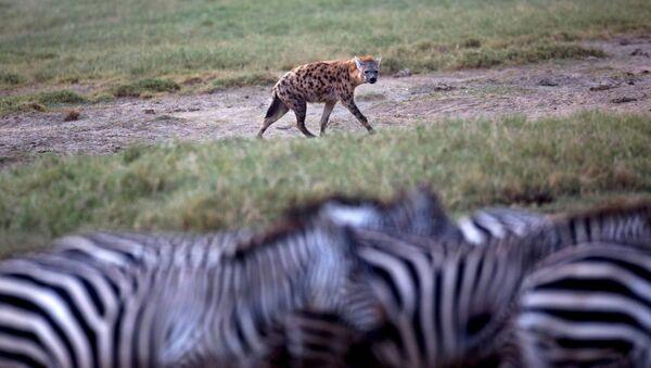 Una iena guarda le zebre - Sputnik Italia