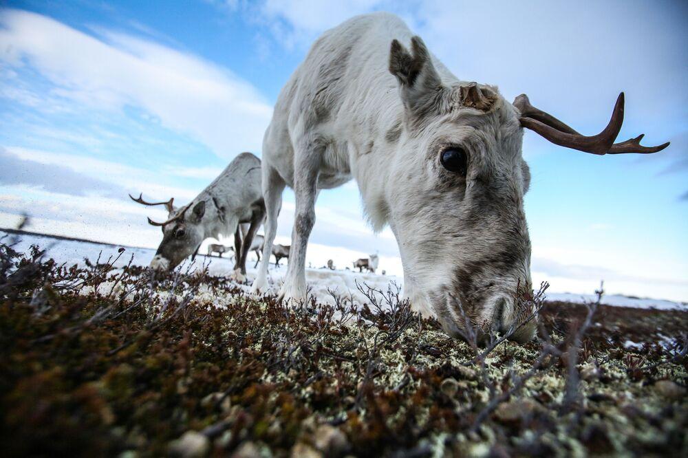 Le renne vicino al villaggio di Lovozero, nella regione di Murmansk, in Russia
