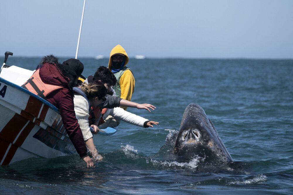 I visitatori cercano di toccare una balena grigia in Messico