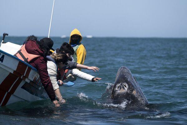 I visitatori cercano di toccare una balena grigia in Messico  - Sputnik Italia