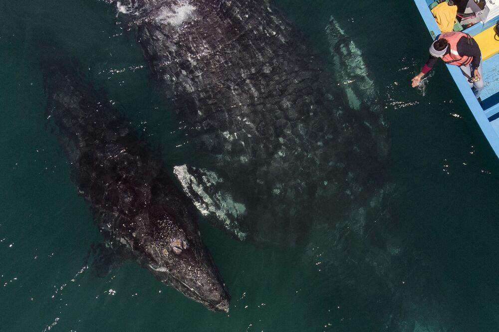 La ripresa aerea di una balena grigia