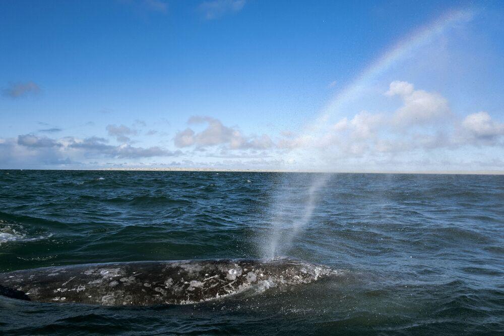 Una balena grigia nella laguna in Messico