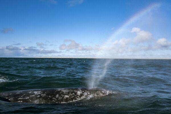 Una balena grigia nella laguna in Messico - Sputnik Italia