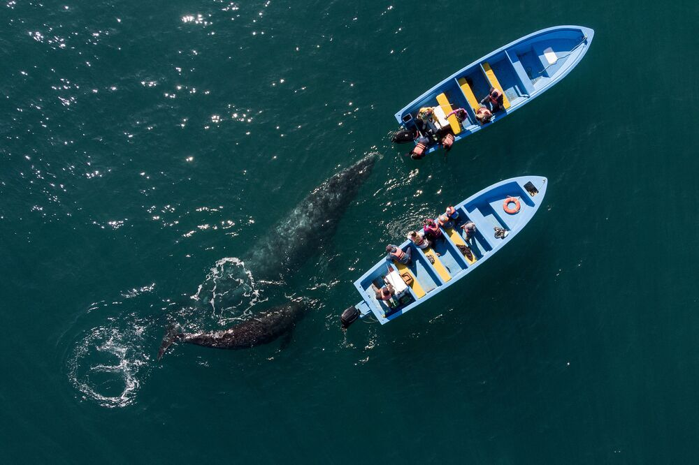 La ripresa aerea di una balena grigia in Messico