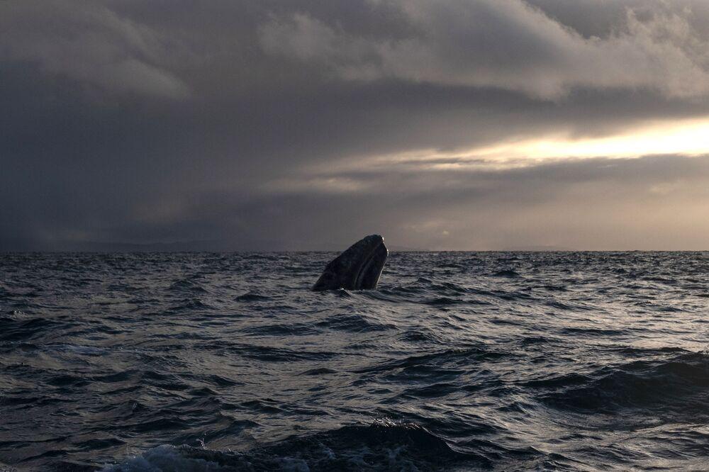 Una balena grigia nella laguna Ojo de Liebre in Messico