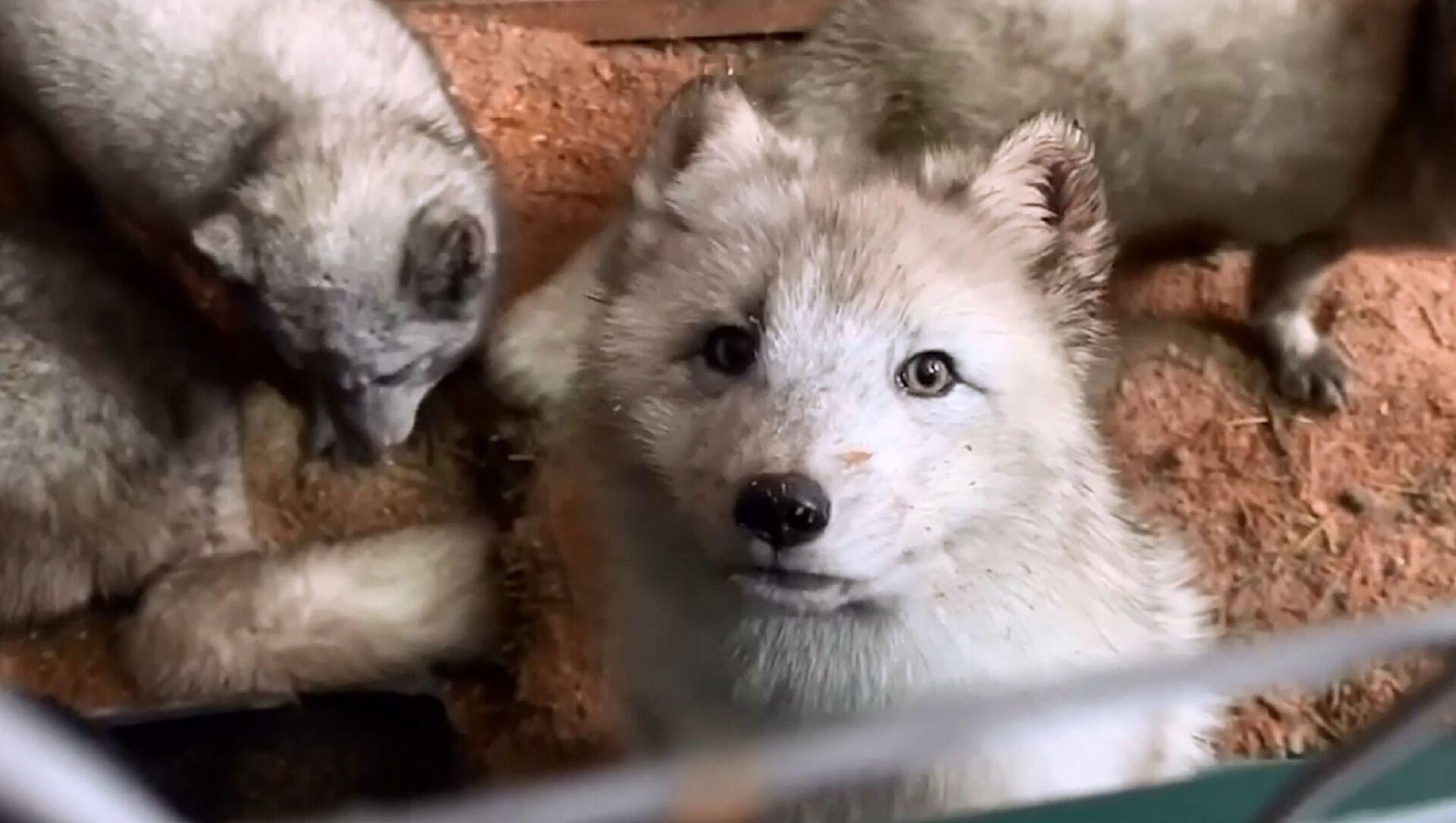 L'invasione delle volpi polari nella regione di Mosca - Sputnik Italia, 1920, 08.04.2021