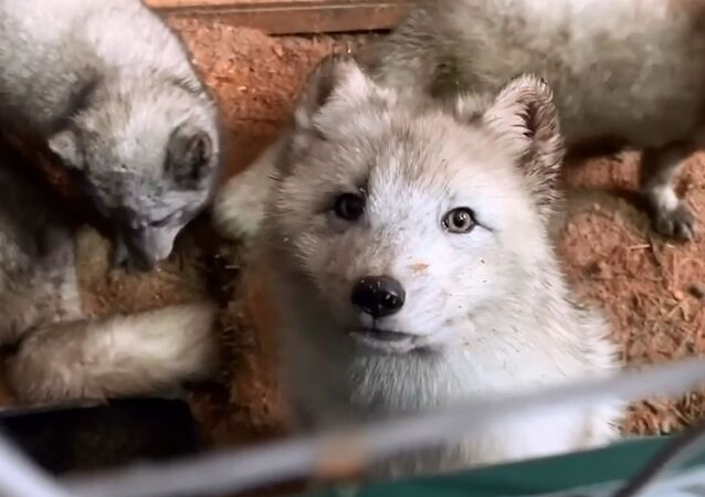 L'invasione delle volpi polari nella regione di Mosca