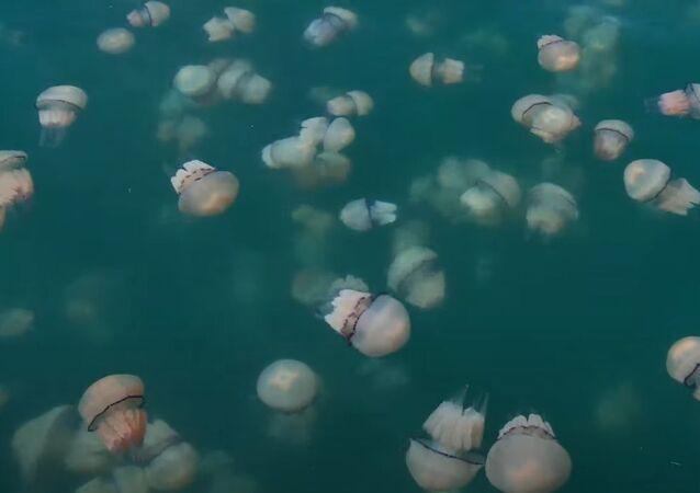 Italia: tappetto di meduse rosa invade le acque di Trieste