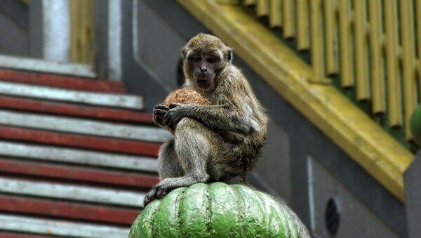 Monkey  - Sputnik Italia