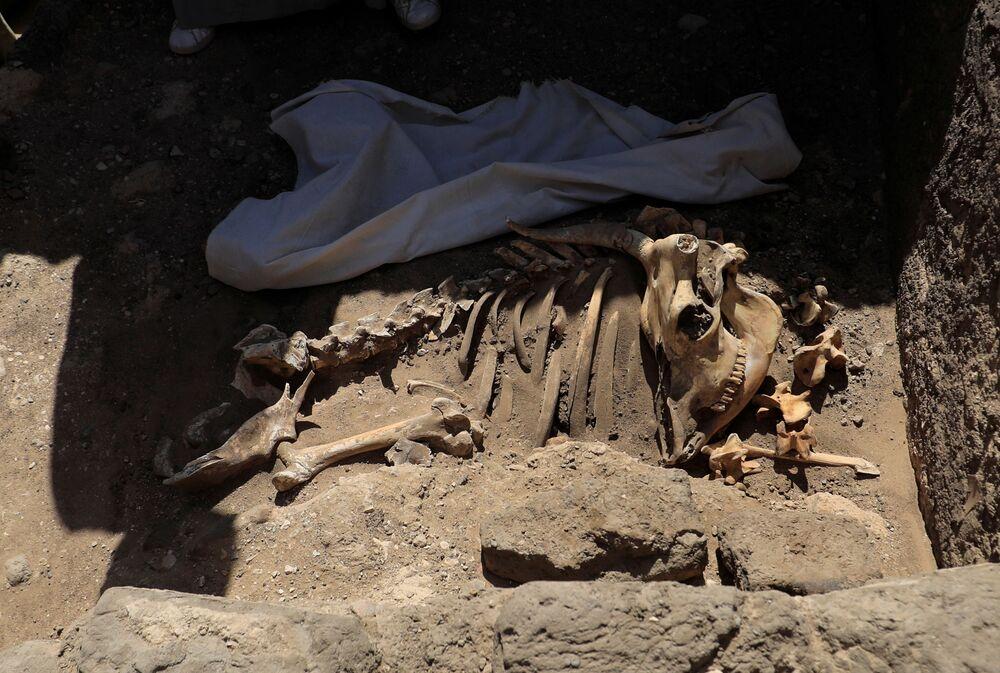I resti scheletrici di animali dalla Città d'oro perduta'', che è stata scoperta dagli archeologi, nei pressi di Luxor, nell'Alto Egitto, il 10 aprile 2021
