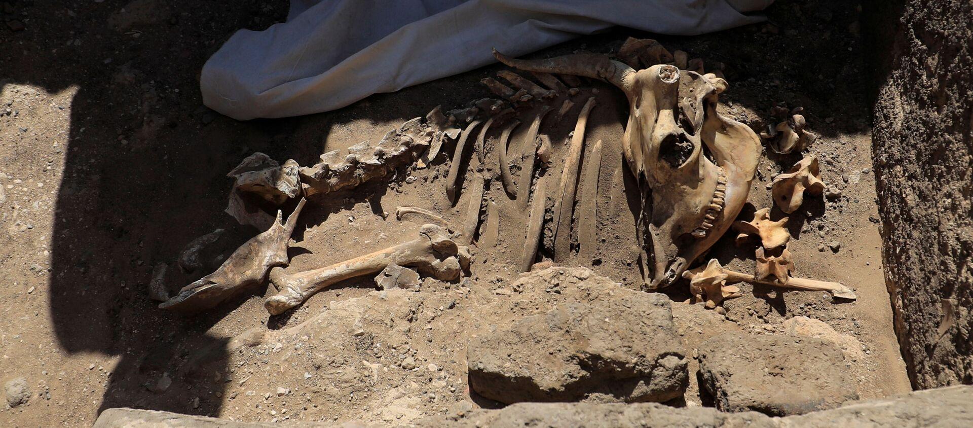 I resti scheletrici di animali da Città d'oro perduta'', che è stata scoperta dagli archeologi, nella Cisgiordania di Luxor, nell'Alto Egitto, il 10 aprile 2021 - Sputnik Italia, 1920, 11.04.2021
