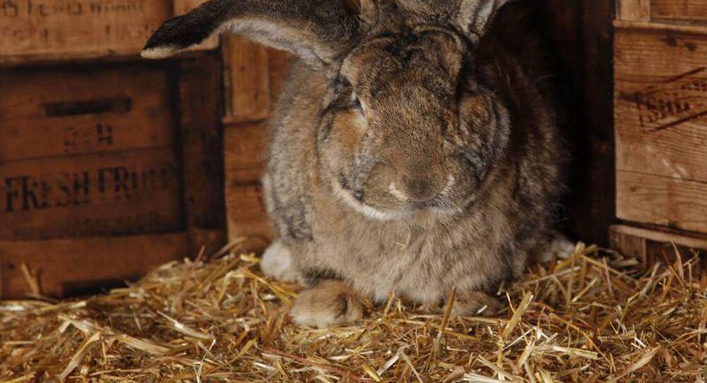 Rubato Darius, il coniglio più grande del mondo