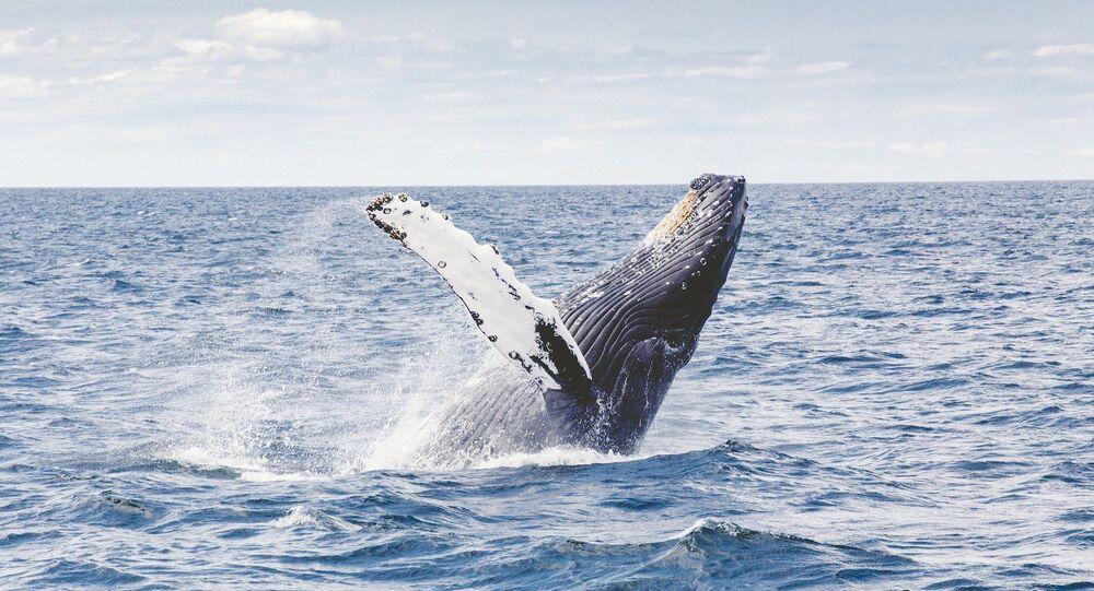 Balena (foto d'archivio)