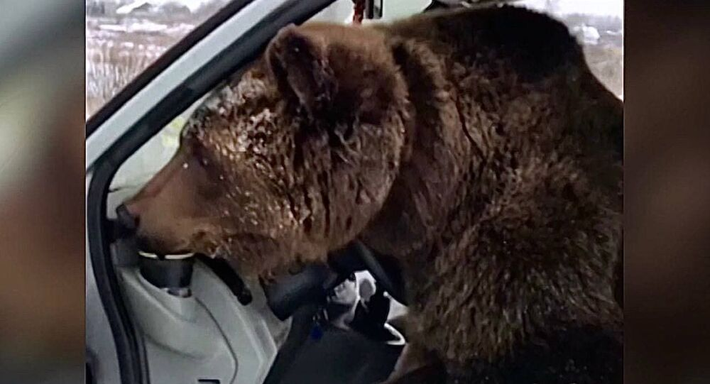 Russia: orso suona il clacson al volante di un furgone