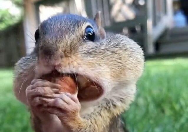 Scoiattolo mangia le noci