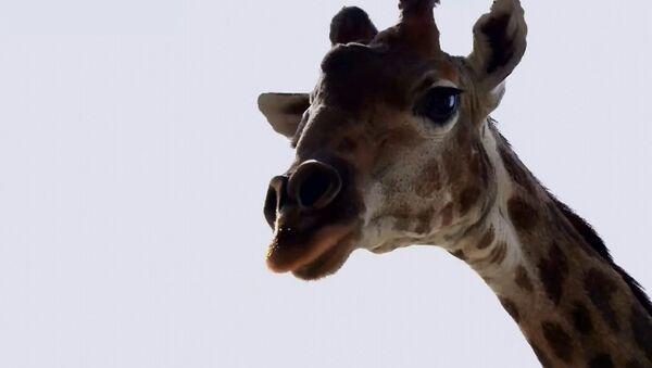 Giraffa nello zoo di Mosca si gode il ritorno al recinto aperto  - Sputnik Italia