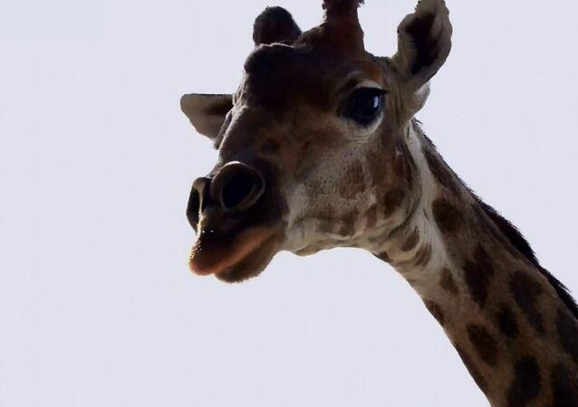 Giraffa nello zoo di Mosca si gode il ritorno al recinto aperto