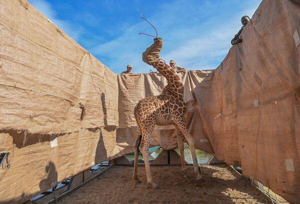 La foto: Salvataggio delle giraffe dall'isola allagata del fotografo statunitense Ami Vitale vince il 1° premio al World Press Photo 2021 nella categoria Natura - Sputnik Italia